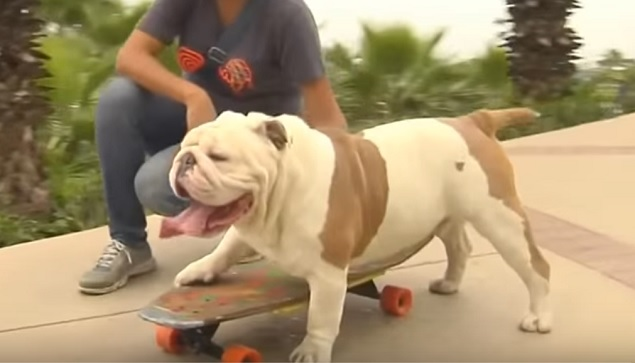 english-bulldog-dog-skateboard