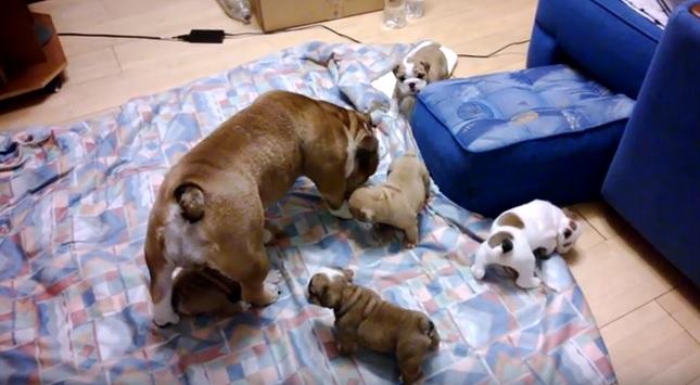 english-bulldog-family-dogs