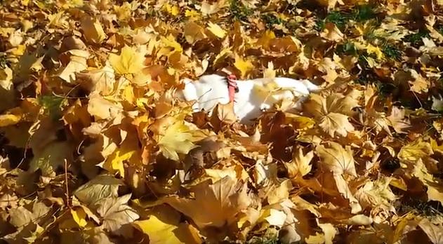 english bulldog leaves dog