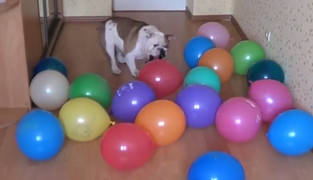 funny-english-bulldog-play-air-balloons