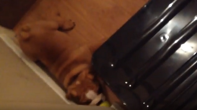 playful english bulldog pup fun