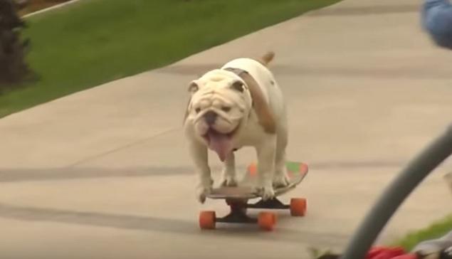 skateboard-dog-english-bulldog