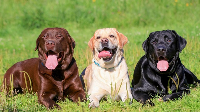 Chocolate Black and Yellow labradors