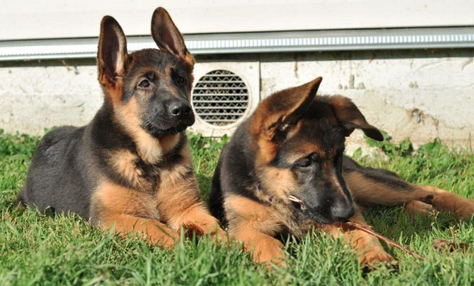 German Shepherd puppies on grass