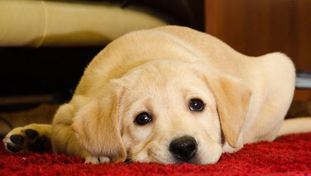 amazing labrador puppy