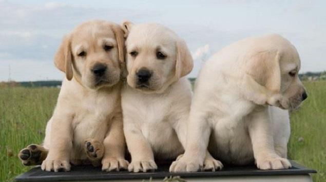 labrador dogs puppy