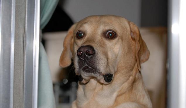 funny labrador face