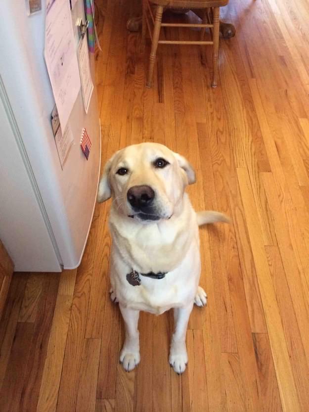 labrador goofy face