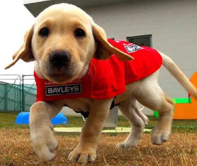 labrador puppy rescue dog