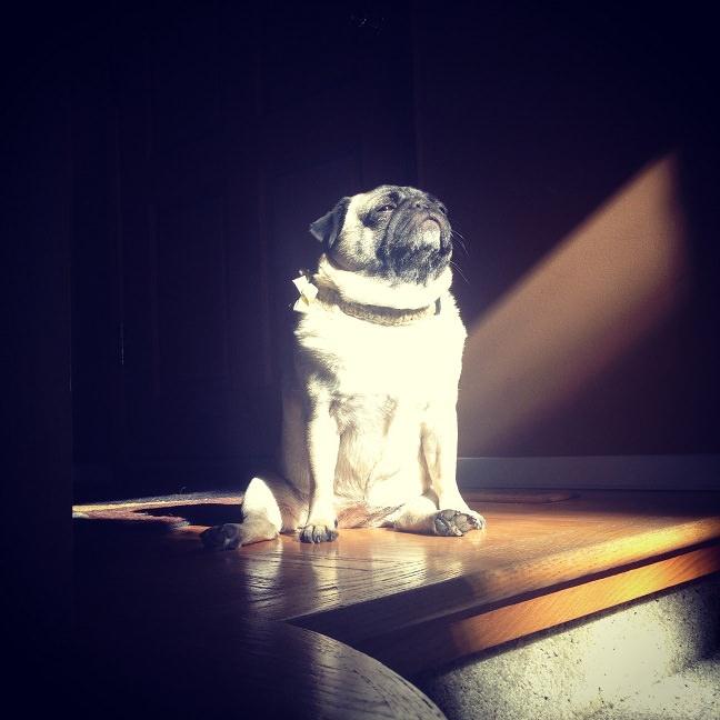 pug and sun