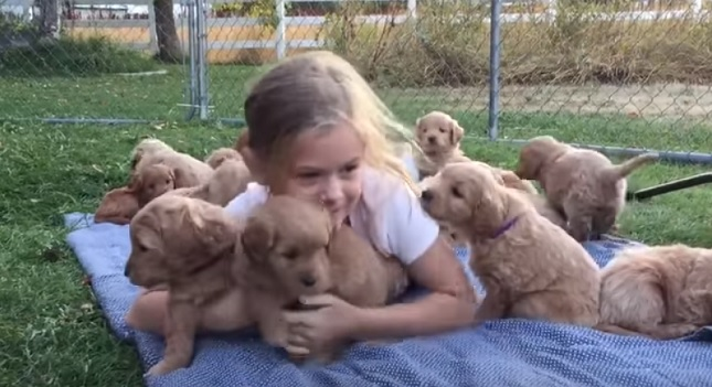 Golden Retriever Pups Cuddle And Snuggle With Little Girl