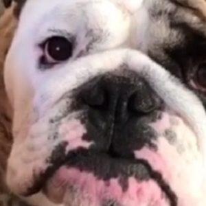 How to Determine the Right Food for Your English Bulldog