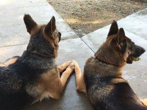 Here is the most intelligent German Shepherd Dog
