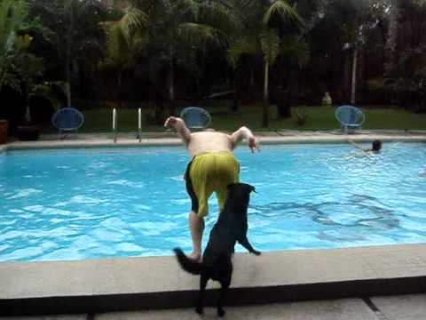Toyo ,  the Labrador , helps people into Swimming pool