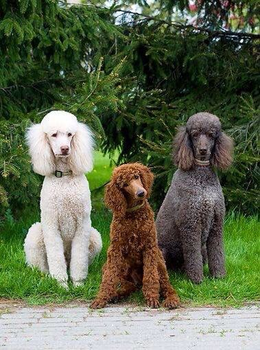 What are the differences - Goldendoodle Versus Labradoodle ? 4