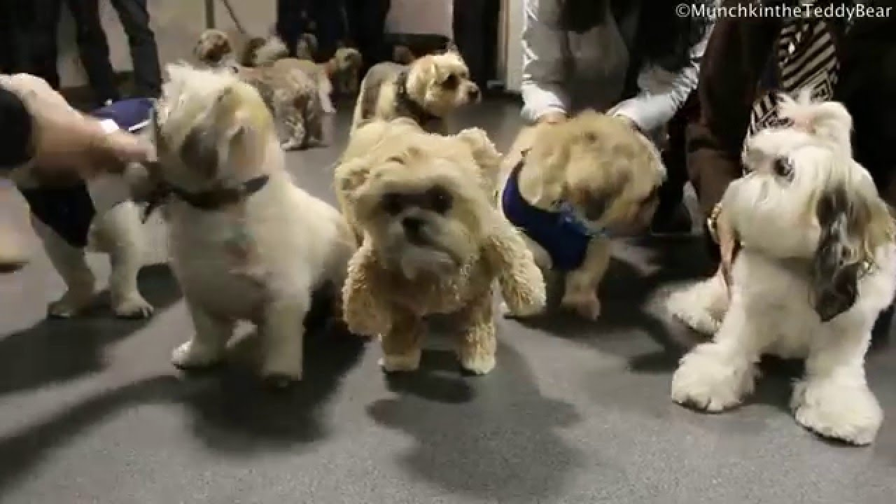 Shiatzu pups fight over toy