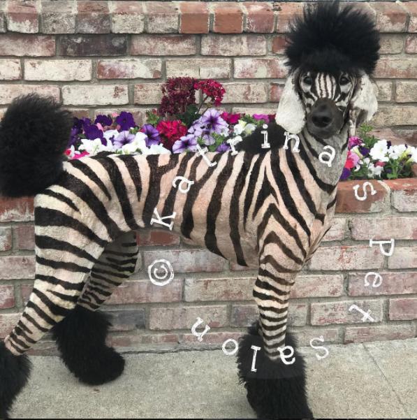 Meet the Zoodle: Dog/Zebra Hybrid