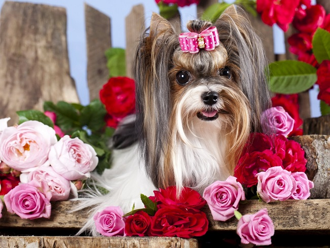 Small in size but big in personality, Here are TOP 10 interesting facts about Yorkshire Terrier. 1