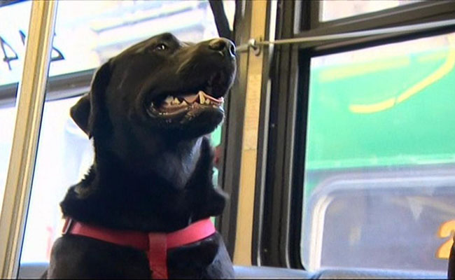 This Dog Rides Public  Bus Solo Every Day