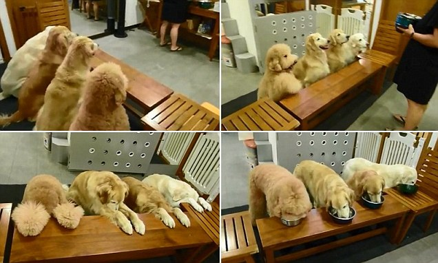 These  Golden Believers! Devout dogs pray before dinner time