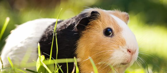 7 Tips for Creating the Best Guinea Pig Habitat for Your Pet 17
