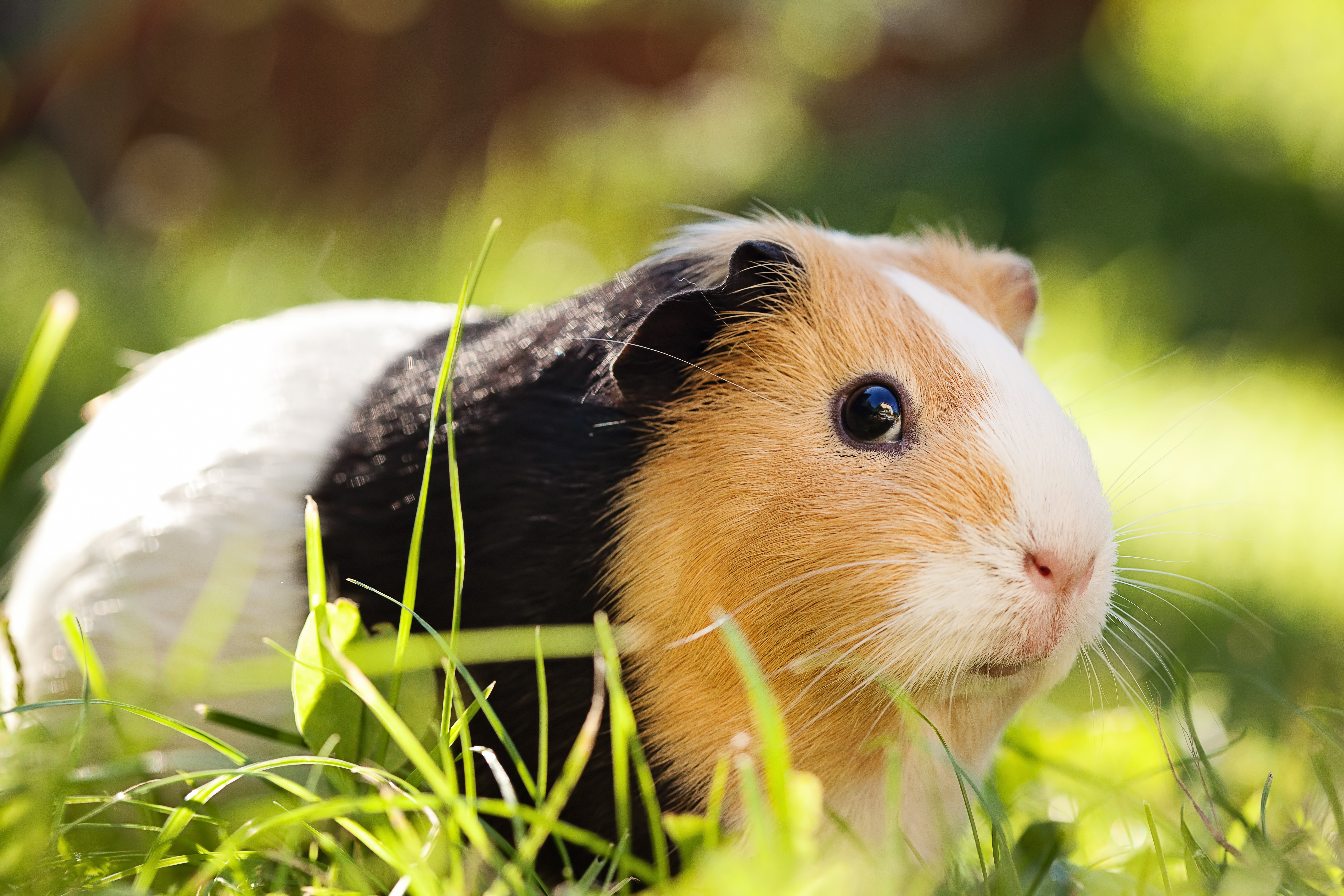 4 Reasons to Get a Guinea Pig