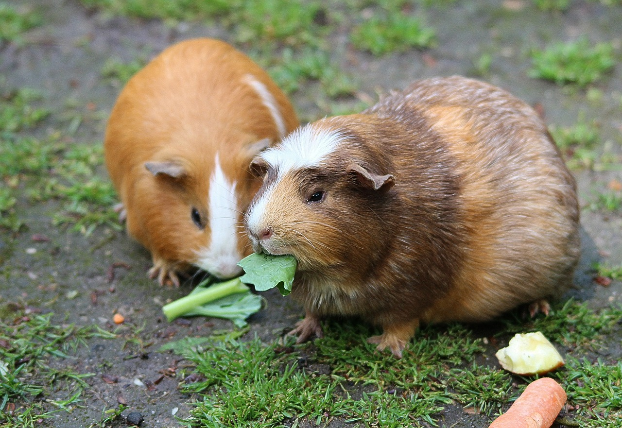 7 Tips for Creating the Best Guinea Pig Habitat for Your Pet 20
