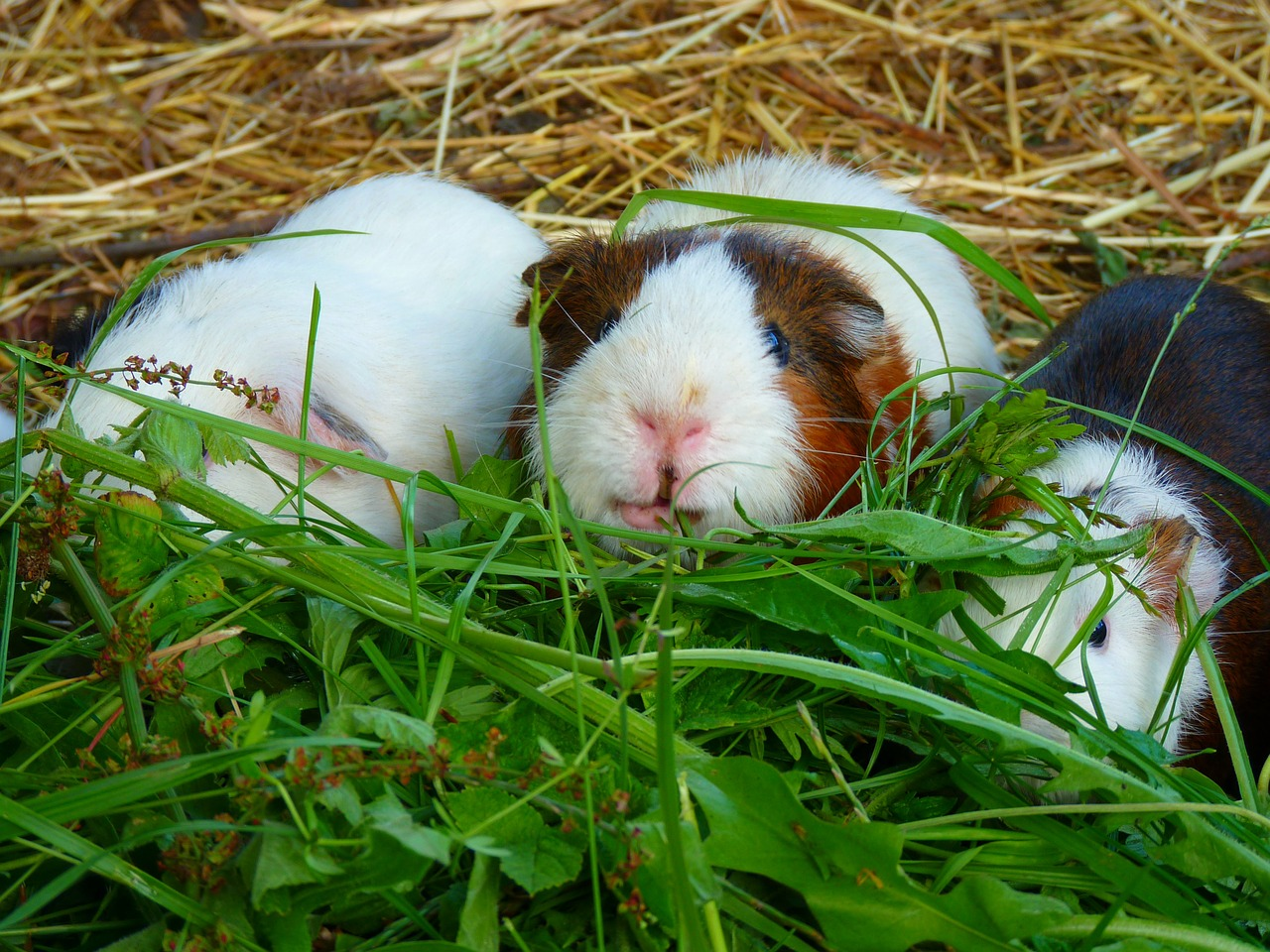 7 Tips for Creating the Best Guinea Pig Habitat for Your Pet 19