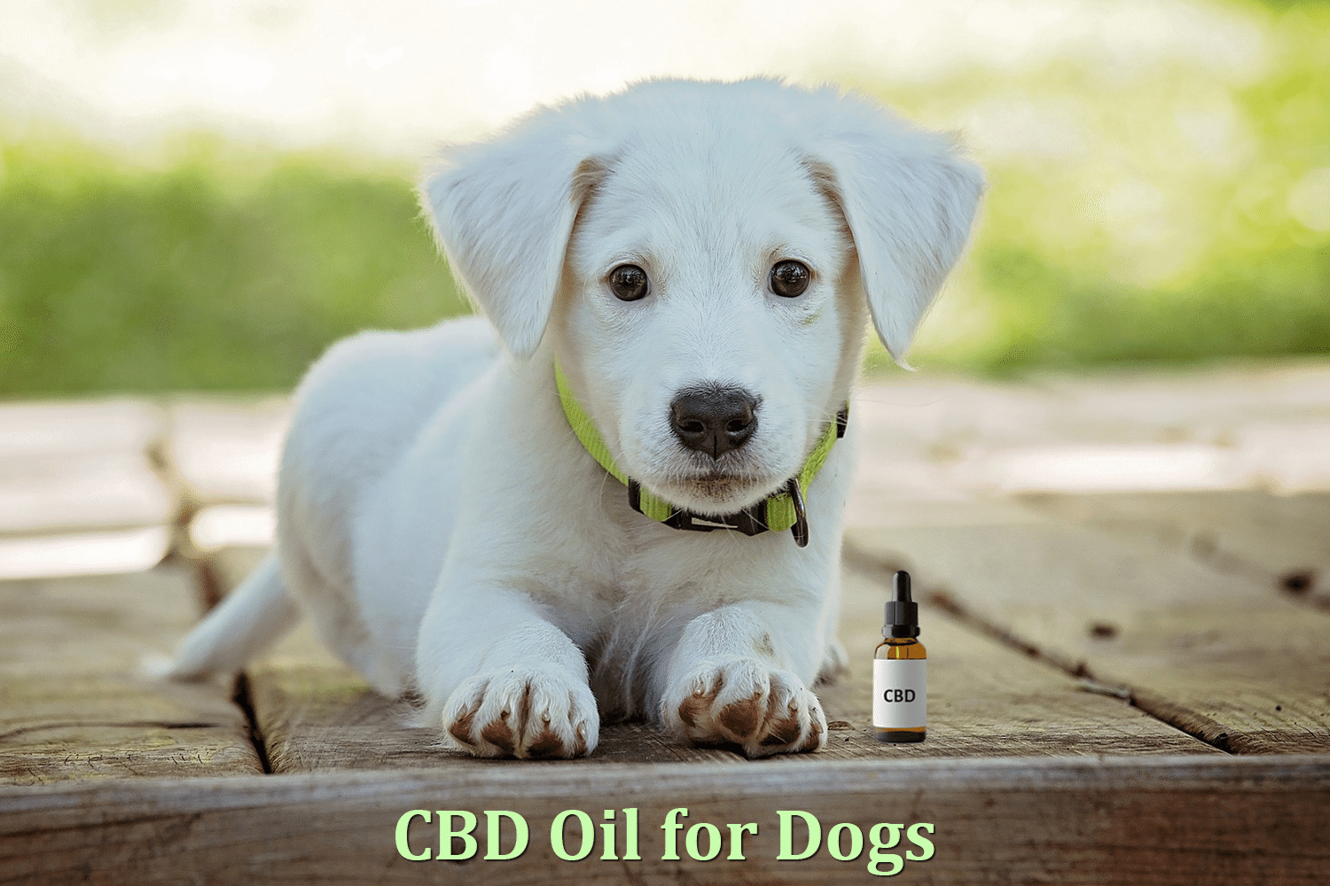 CBD Oil for Dog Anxiety : How It Calms Down Your Little Friend 1