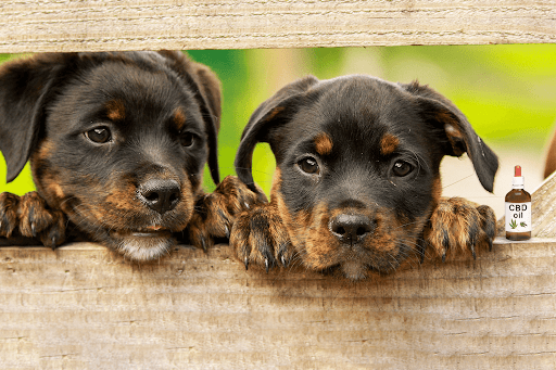 Benefits of CBD Oil for Dogs 2