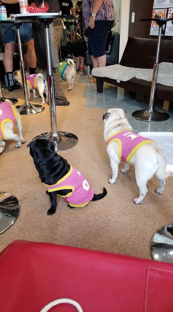 """The Pug Cafe """"Living Room"""" in Kyoto 18"""