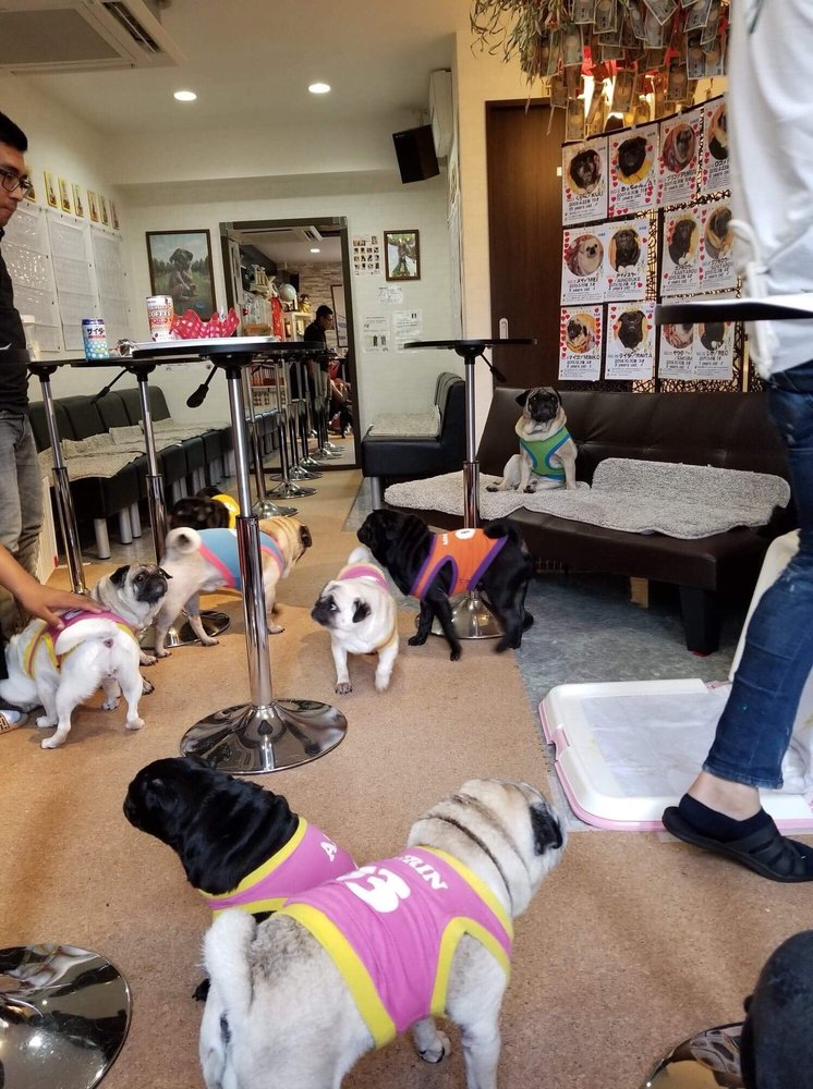 And the winner is Pug Cafe Living Room, Japan 6