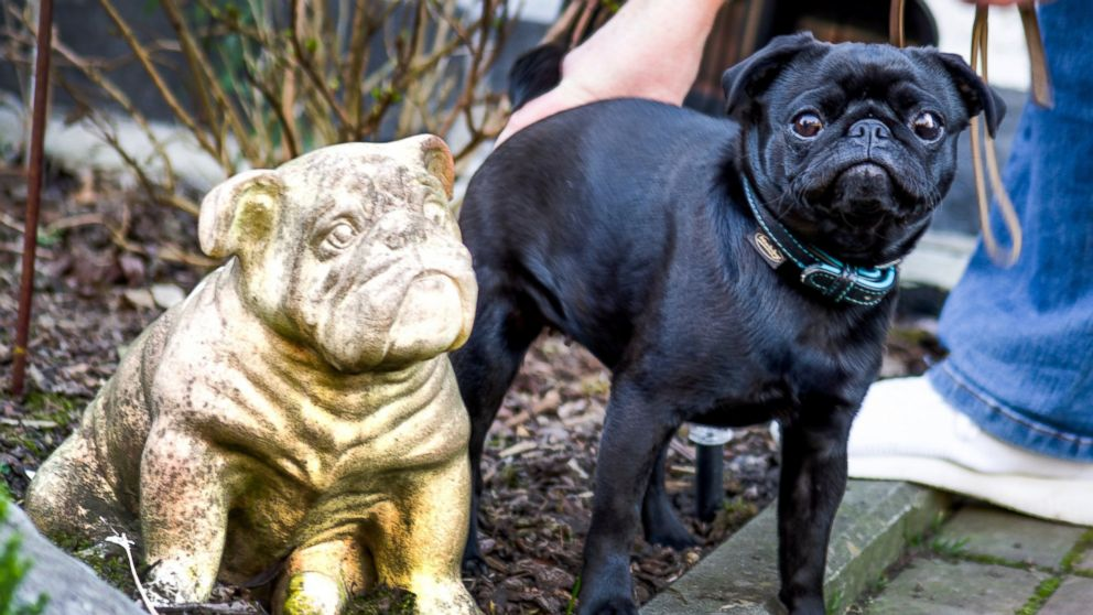Family's Pug  Sold on Ebay by  City to Settle  Tax