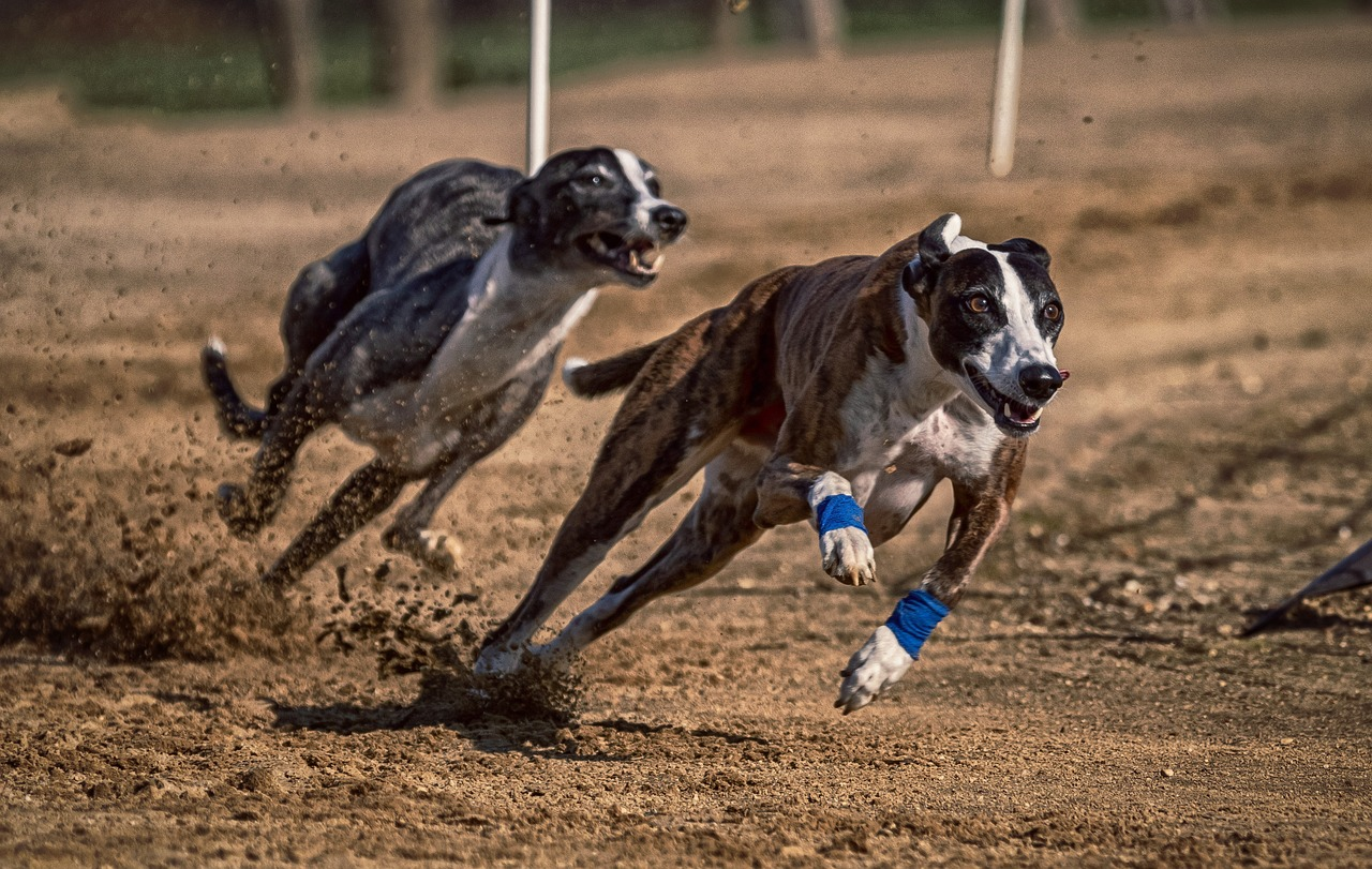 Greyhound Racing in the UK