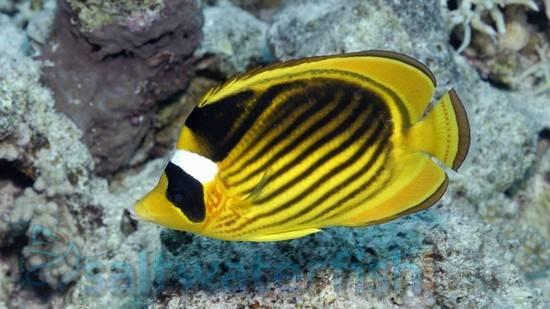 11 Best Saltwater Aquarium Fish for Beginners 35