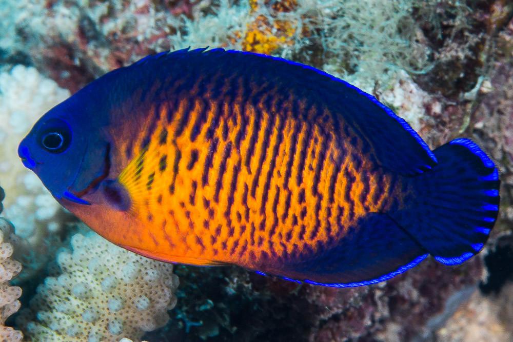 11 Best Saltwater Aquarium Fish for Beginners 33