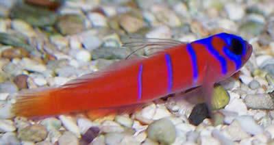 11 Best Saltwater Aquarium Fish for Beginners 34