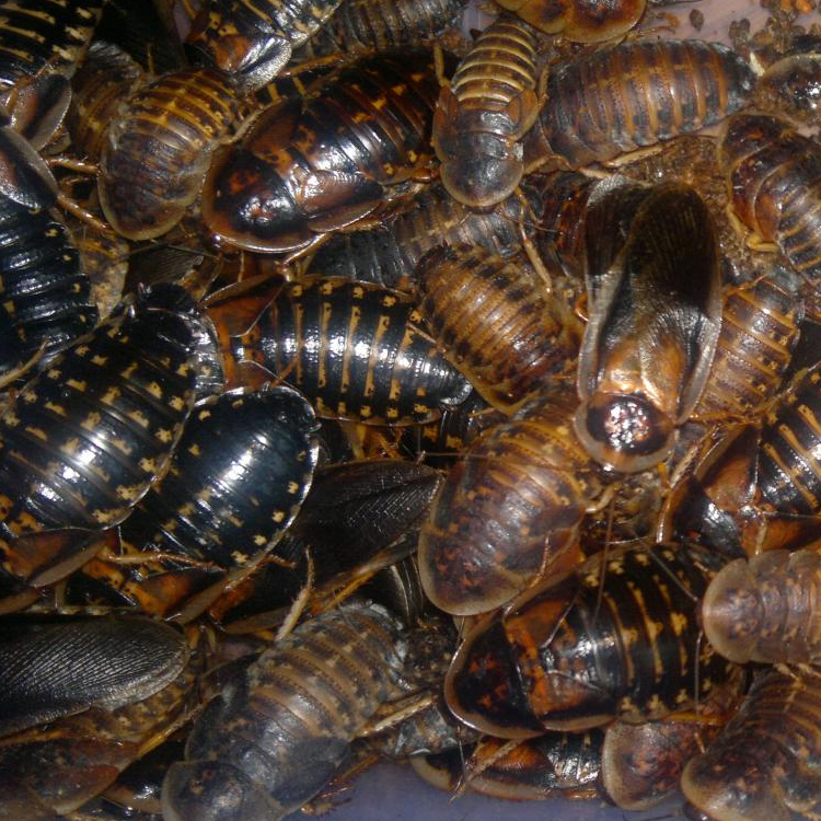 Why Dubia Roaches Should Be on Your Bearded Dragon's Menu 8