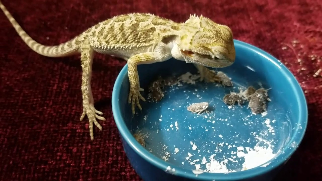 Why Dubia Roaches Should Be on Your Bearded Dragon's Menu 9