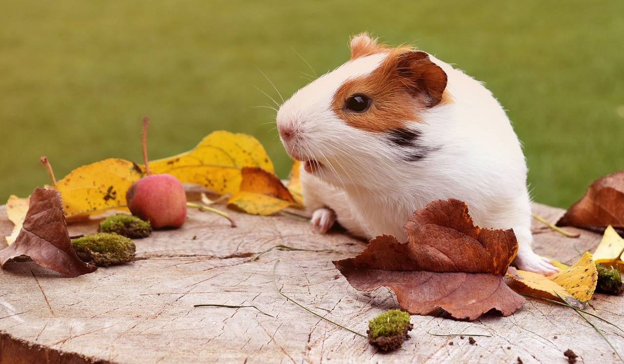 7 Tips for Creating the Best Guinea Pig Habitat for Your Pet 23