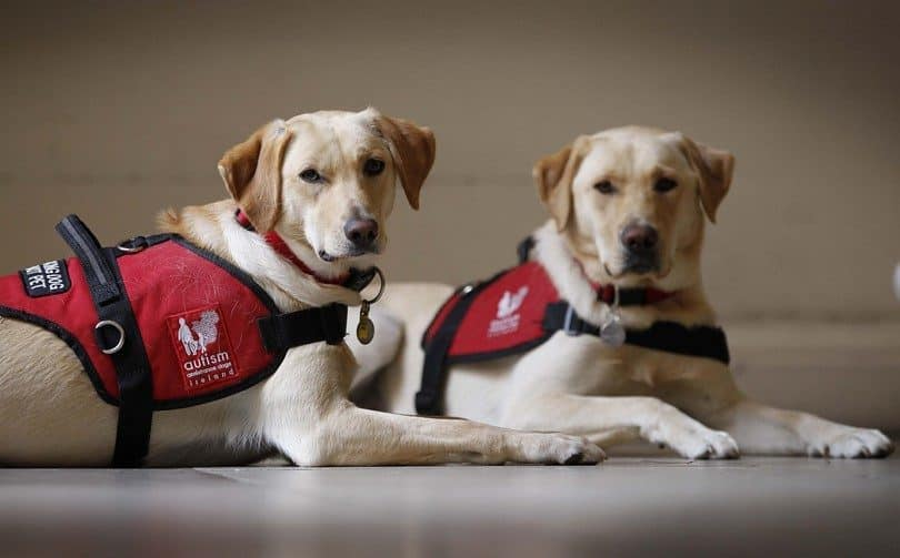How to Get a Service Dog for Anxiety: A Helpful Guide 7