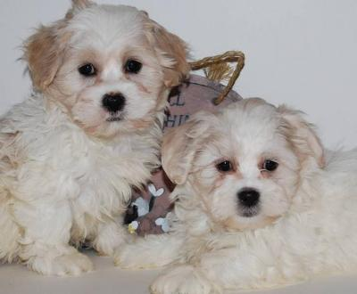 7 Tips to Train Your Shichon Dog 20