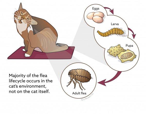 5 Advantages of Oral Flea Treatments for Cats 16