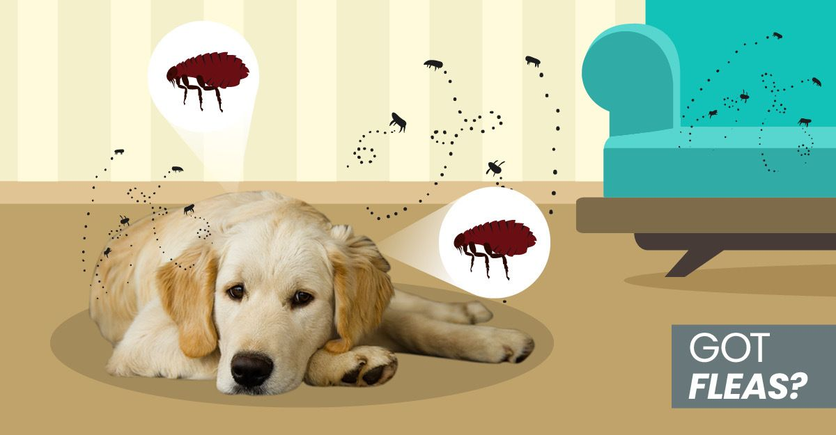 6 tips you should know on getting rid of fleas on dogs