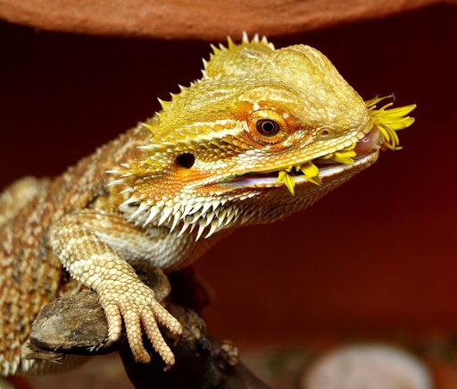 Common Bearded Dragon Owner Mistakes 11