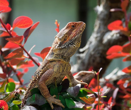 Top 5 Reasons to Get a Bearded Dragon and Why They Make Great Pets 3