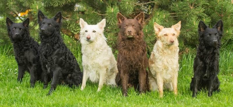https://en.wikipedia.org/wiki/Category:Dog_breeds_originating_in_Hungary