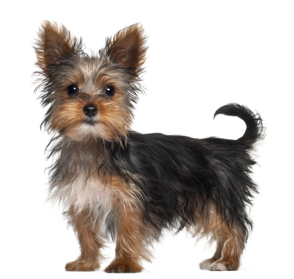 130 Yorkshire Terrier Dog Names