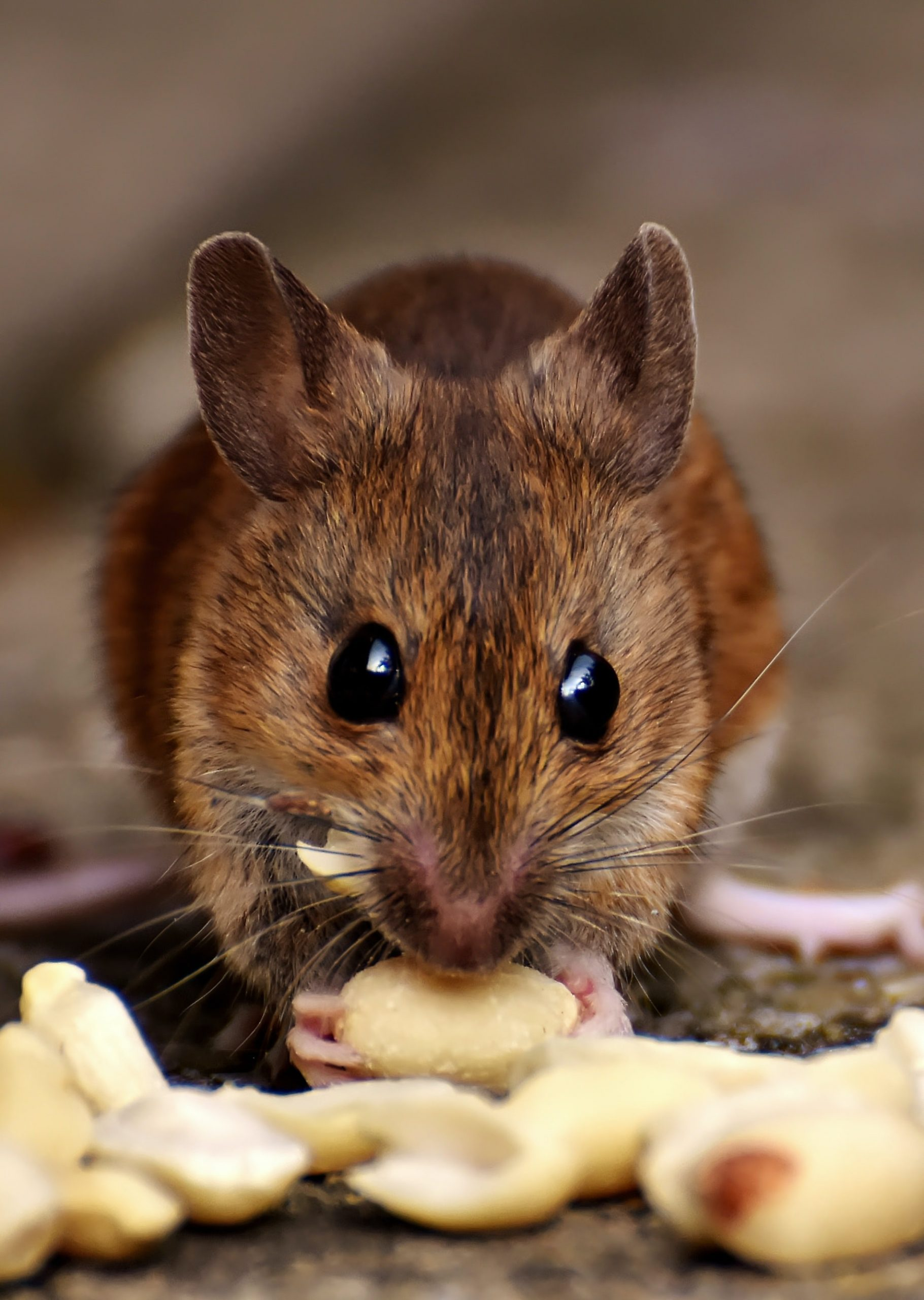 interesting fact about home rats