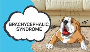 Is Heat Deadly For Brachycephalic (Short-Muzzled) Dogs 1